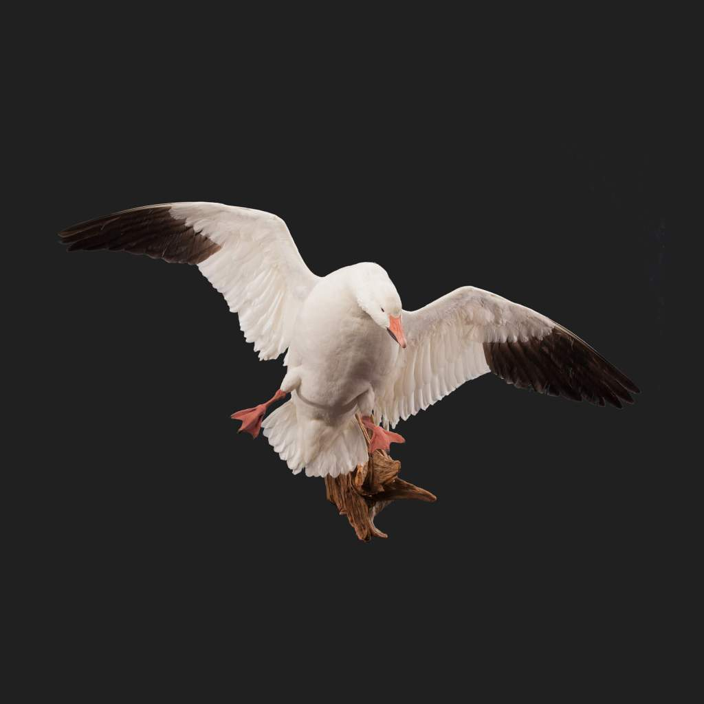 Snow goose taxidermy front view