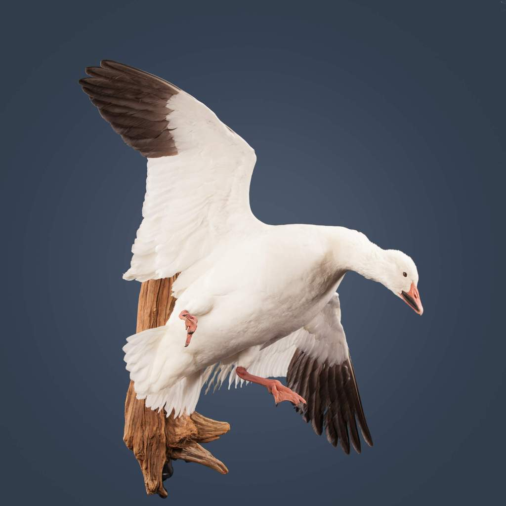 Snow goose taxidermy