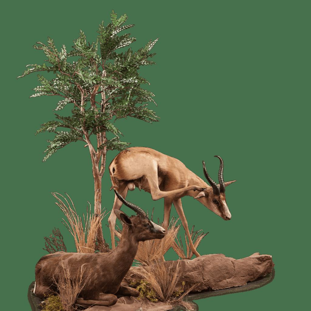two full size springbok taxidermy scene
