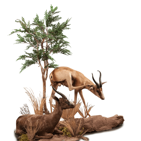 two full size springbok taxidermy scene