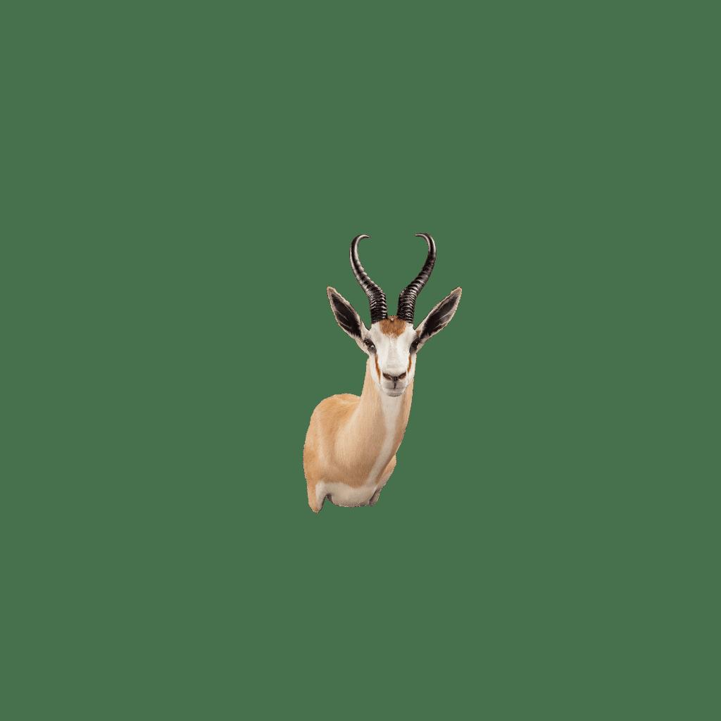 springbok shoulder mount