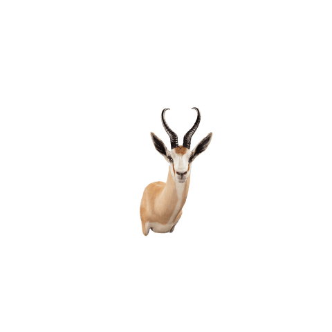 springbok shoulder mount