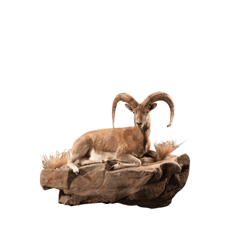urial lying down taxidermy