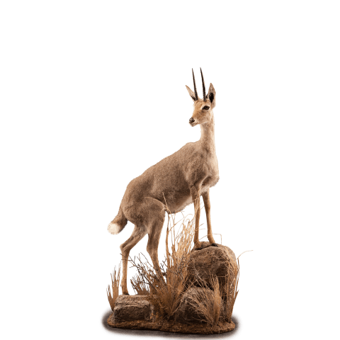 vaal rheebok on rocks taxidermy