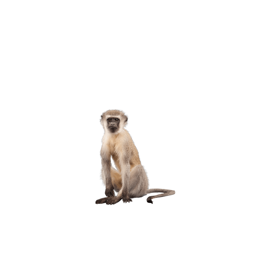 sitting vervet monkey pose
