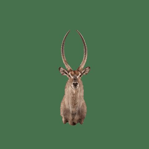 waterbuck shoulder mount