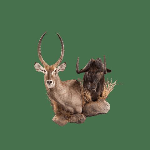 waterbuck and wildebeest pedestal mount