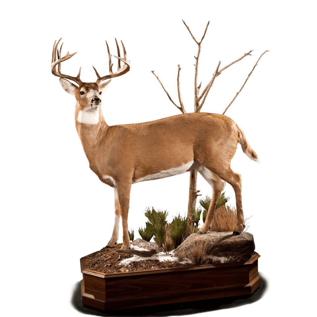 Full size whitetail deer taxidermy