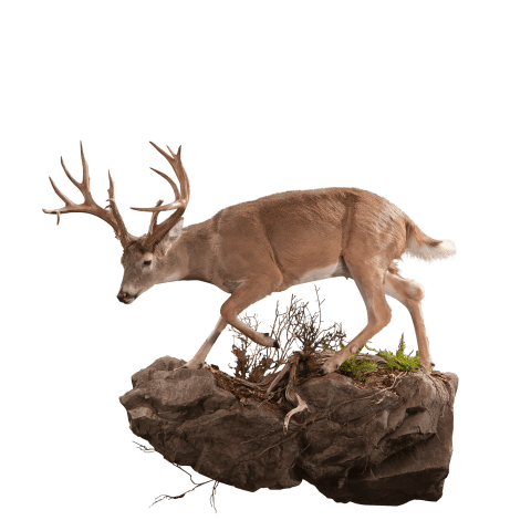 Whitetail deer on rock taxidermy