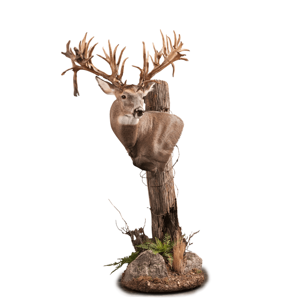 Whitetail deer shoulder taxidermy pedestal