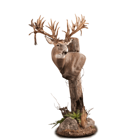 Whitetail deer shoulder taxidermy pedestal