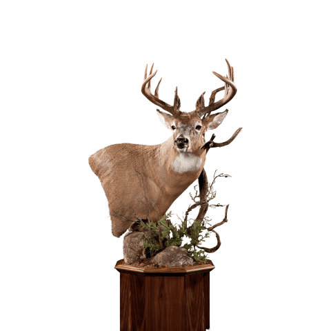 Whitetail deer shoulder taxidermy