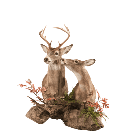 Two whitetail deer wall mount taxidermy