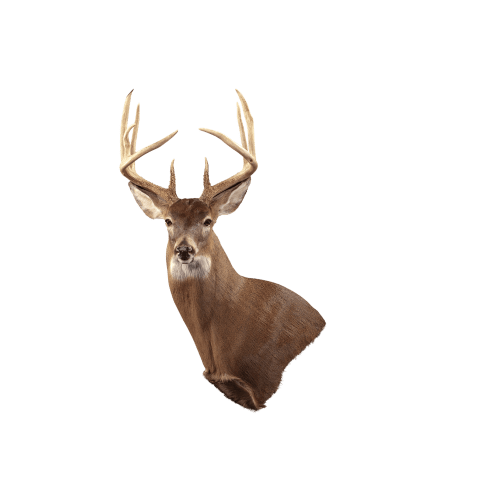 Whitetail wall mount taxidermy