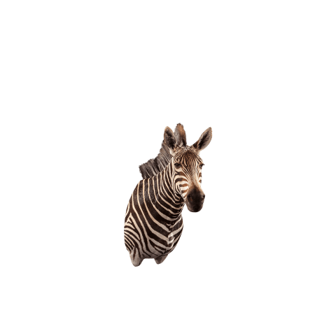 zebra shoulder mount