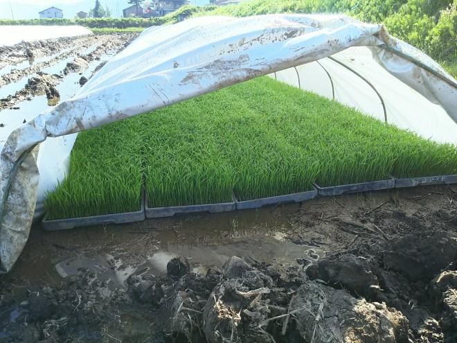 稲の苗の様子