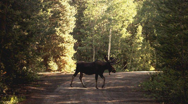 Zderzenie z dzikim zwierzęciem – jak uzyskać odszkodowanie
