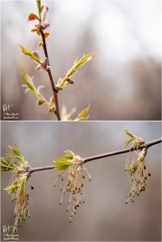 Tree Buds | Spring 2019 | Coon Rapids Minnesota