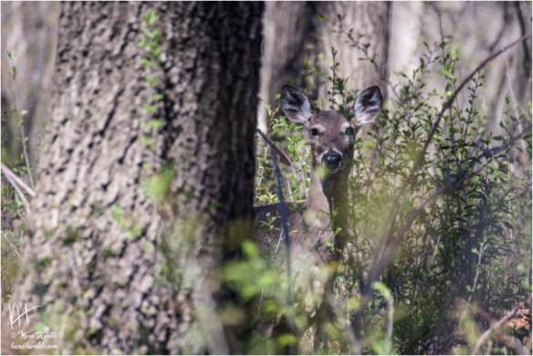 spring deer hiding behind tree | Spring 2019 | Coon Rapids Minnesota