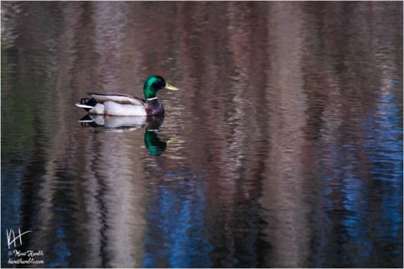 mallard on pond | Spring 2019 | Coon Rapids Minnesota