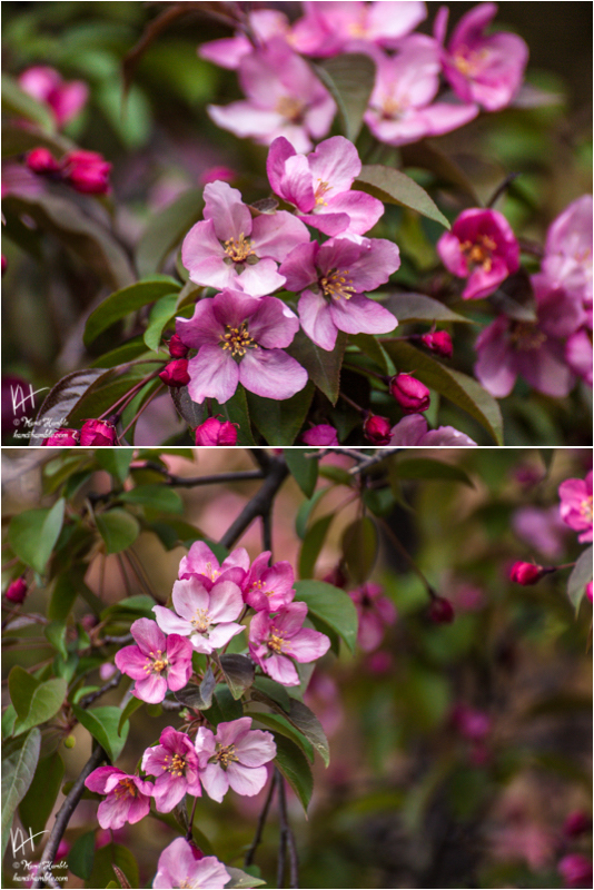 crab apple tree blossoms | Spring 2019 | New Brighton Minnesota
