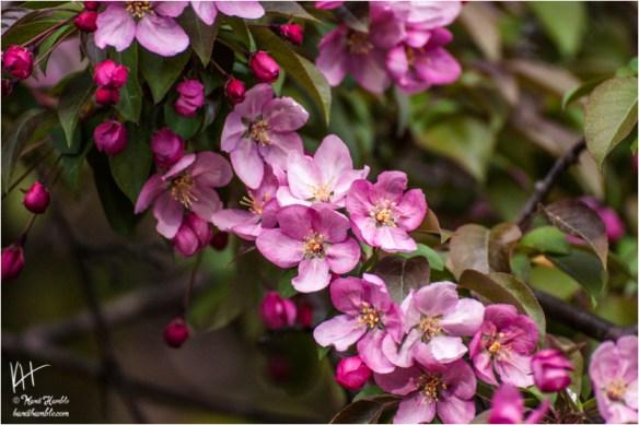 crab apple tree blossoms   Spring 2019   New Brighton Minnesota