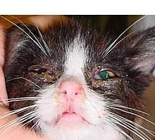 5 penyakit virus yang sering menyerang anak kucing / kitten ...