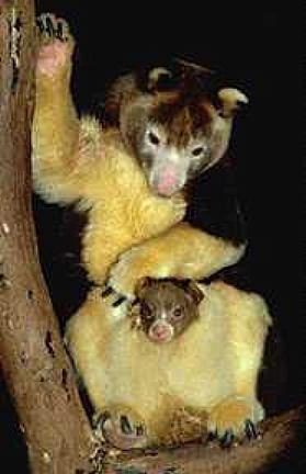 photograph of  Matschie's tree kangaroo