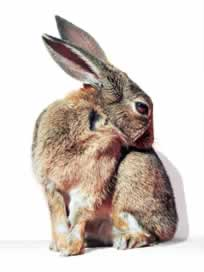 Flöhe bei Kaninchen