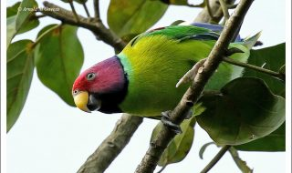 Plum headed parakeet