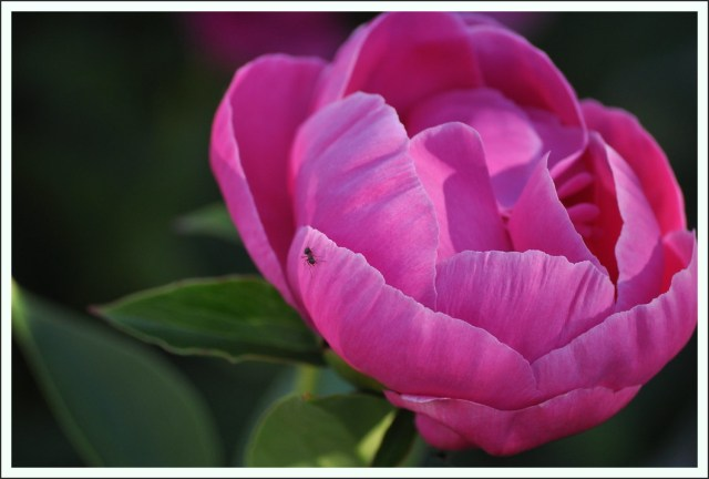 camellia japonica Blüte