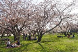 豊公園 桜の下でレジャーシートを広げてお花見