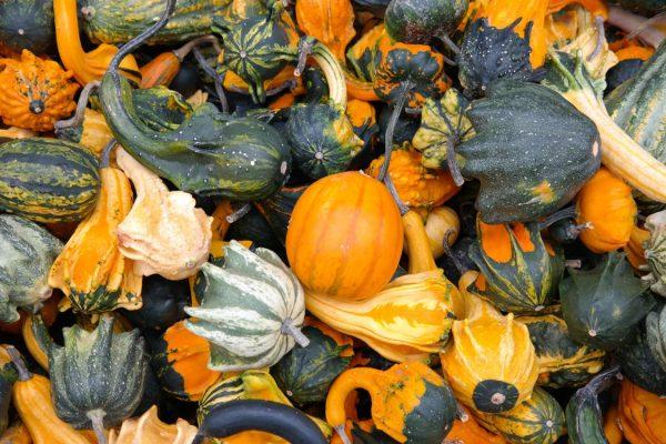 Kansas City Community Gardens Family Fall Festival - pile of decorative gourds and squash