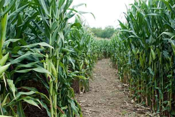 Liberty corn maze