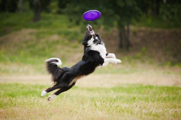 Dog parks in Kansas City - black and white dog catching a frisbee