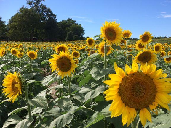 Gieringer's Sunflower Fest - sunflower field in Kansas