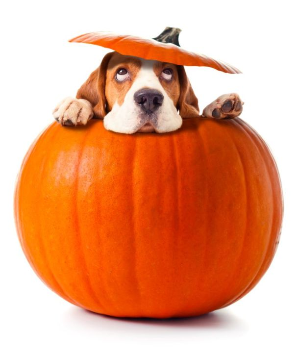Halloween dog events in Kansas City - dog in a pumpkin
