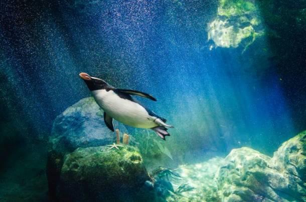 Kansas City Zoo animal cams - swimming penguin