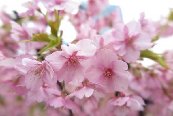 2016年目黒川の桜ライトアップとイベント、お店情報をまとめています