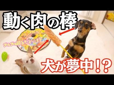 初めて見る猫じゃらしマシンで犬は正しく遊べるのか!?