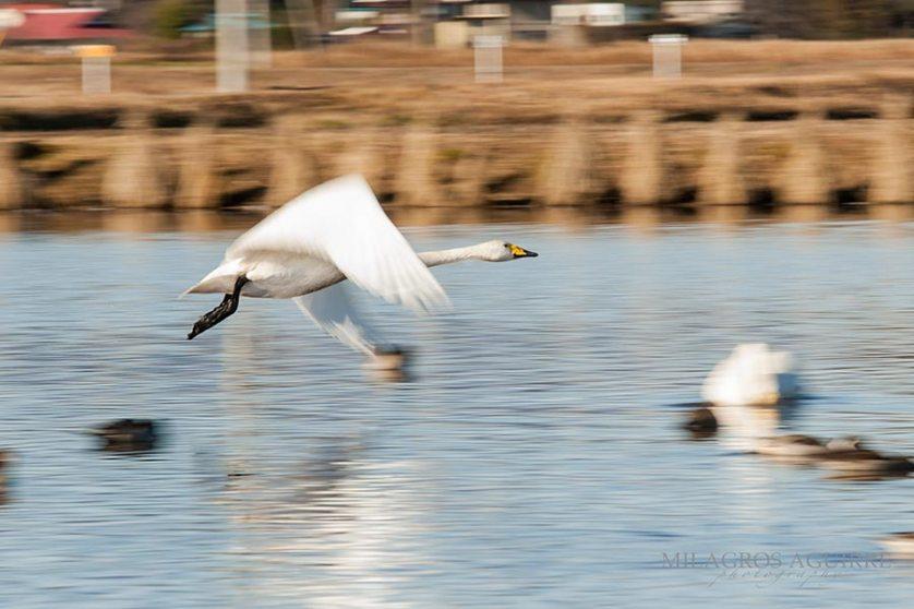 Cisnes-en-handanuma_006