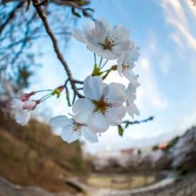 """Sakura"" Narita, Chiba. Fotografía: Willian Susuki"