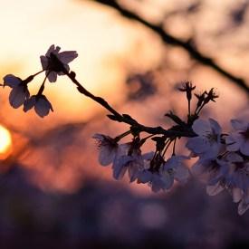 """""""Sakura al atardecer"""" Isesaki, Gunma. Fotografía: Leonardo Yasuoka"""