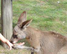 Feeding kangaroos at Lone Pine Koala Sanctuary Brisbane