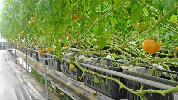 籃耕離地栽培法 - 高平番茄觀光農場