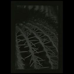 CactusGelatin Silver hand print 13x19.5cm