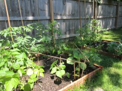 Beans, squash and in the back are all my tomatoes