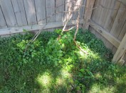Tiny blueberry bushes and a stray tomato plant that popped up. The sticks are to try and keep the dog away :)