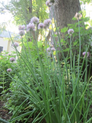 Chives are starting to overtake this area....need to split again next year!