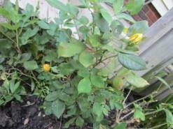 Gimpy roses